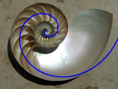 NautilusCutawaySpiral.jpg